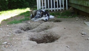 Malamute love to dig